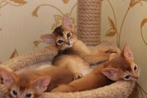 Абіссинська кішка фото кошенят