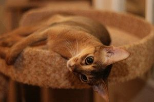 Абіссинська кішка фото