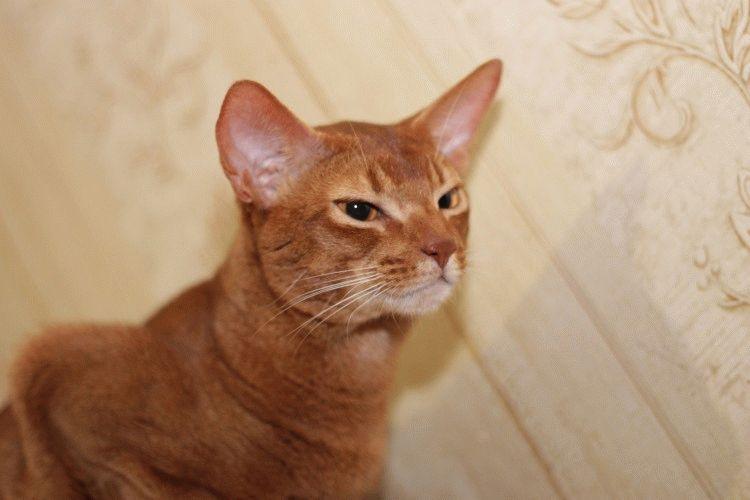 Абіссинська кішка характер