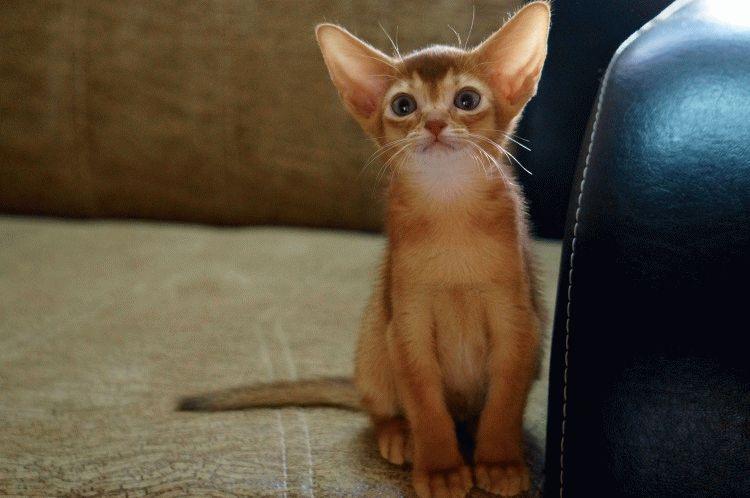 Абіссинська порода котів фото кошеняті