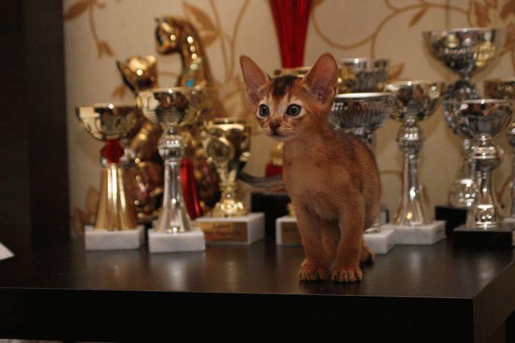 Абіссинське кошеня фото