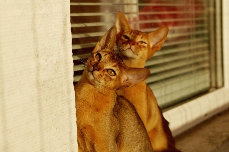 Абіссинські коти фото