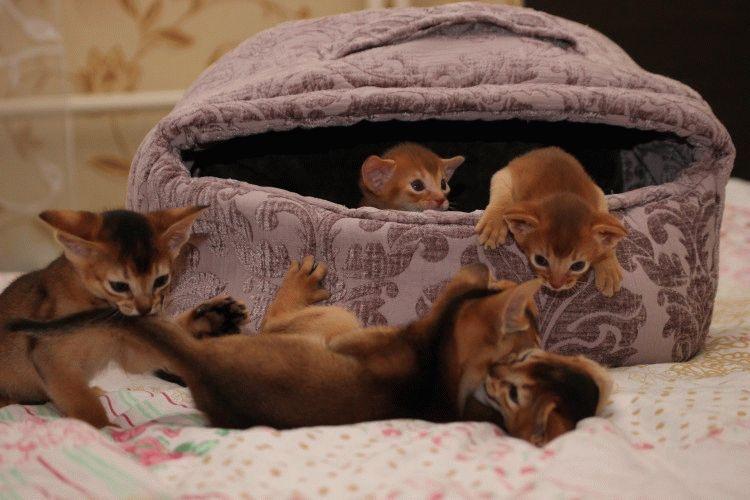 Кошенята абіссинської породи