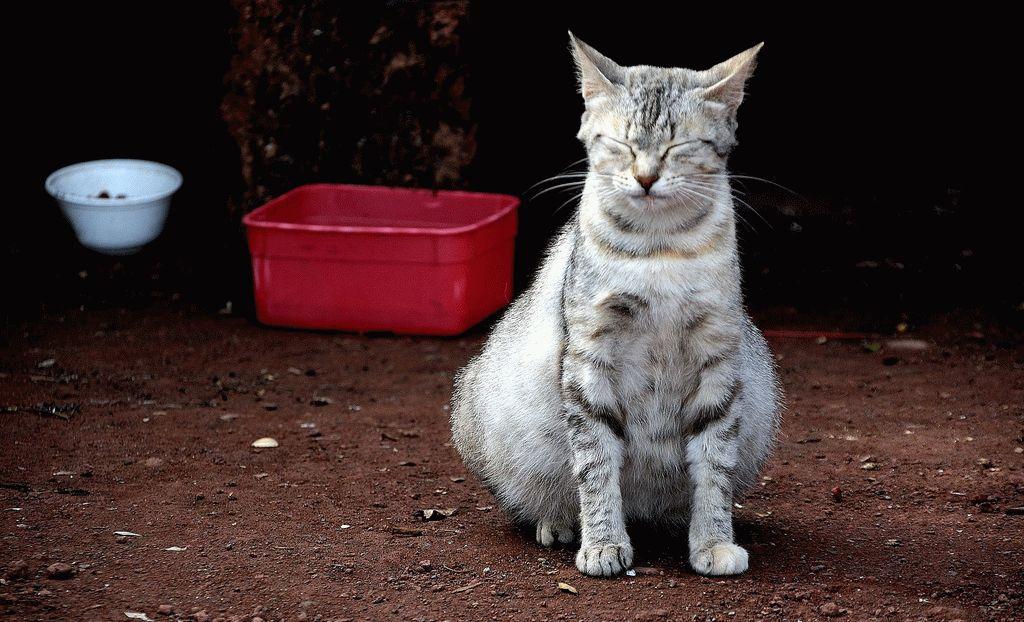 Скільки триває вагітність у кішок