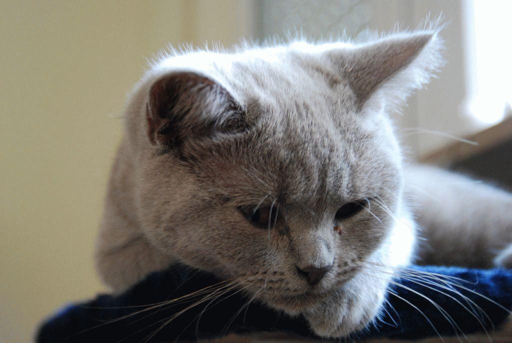 Чумка у котів