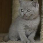 Догляд за британським кошеням